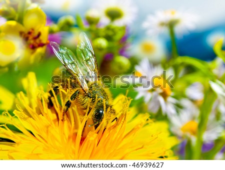 bee full with yellow farina is working on flower a meadow