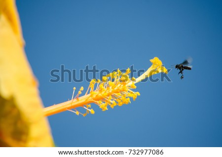 Bee gather nectar on stigma of yellow hibiscus Hibiscus is characterized with a five petal with long pollen tube. Yellow hibiscus Flowers are  fertilized by bees as they gather nectar