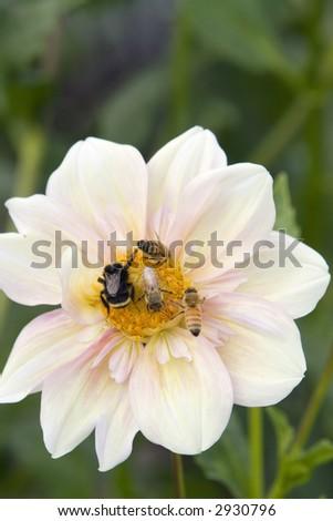 Bee Gathering - stock photo