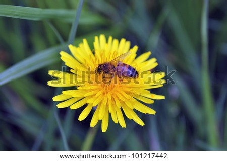 Bee gathering nectar from the flower