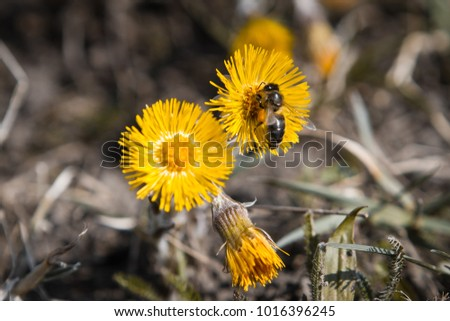 Bee gathers nectar from a flower of coltsfoot on a sunny warm spring day - close up photo