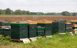 Bee hives aligned on an outdoor farm field in the Netherlands, with trees and a white sky in the background.