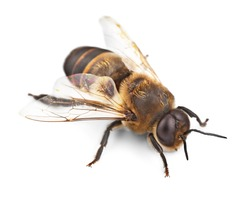 Bee, Honey Bee, Insect.