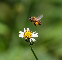 Bee hovering over orange and white flower trying to get pollen with a nice green background