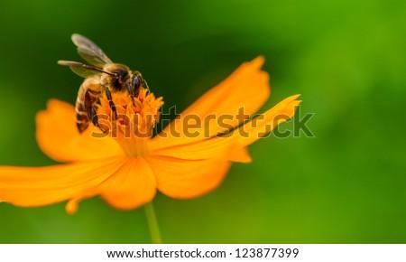 Bee in flower bee amazing,honeybee pollinated of yellow flower