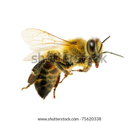 bee in flying on white