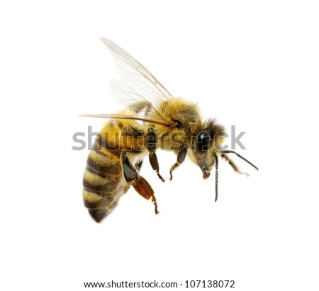 bee isolated on the white