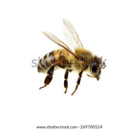 Photo of  Bee isolated on the white. macro of a living insect.