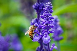 Bee looking for nectar of lavender flower. Close-up and selective focus.