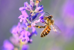 Bee looking for nectar of lavender flower. Close-up and selective focus