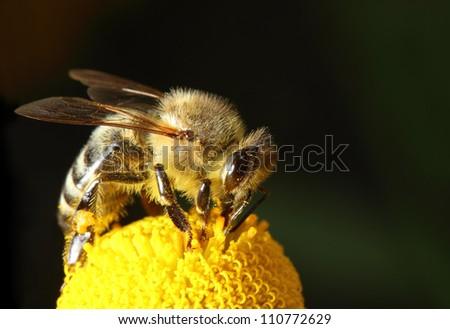 bee macro on yellow flower