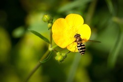 bee on a Buttercup flower (Hover fly)