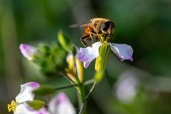Bee on a flower. Flora and founa. Garden. Russia.