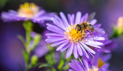 Bee on a purple flower. Close-up