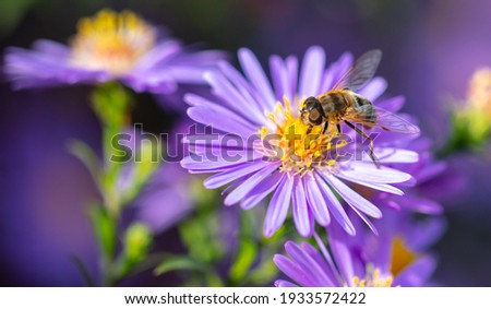 Bee on a purple flower. Close-up Stock photo ©