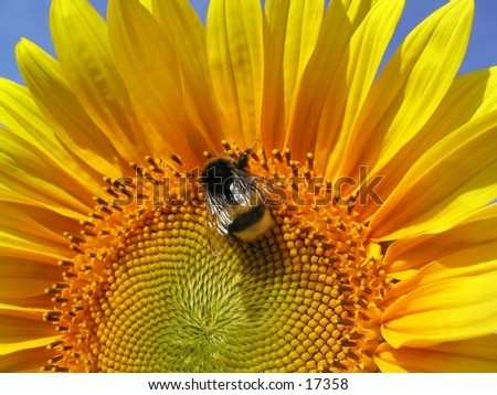 Bee on a sunflower against a blue sky