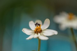 Bee on a white daisy with a blue back ground