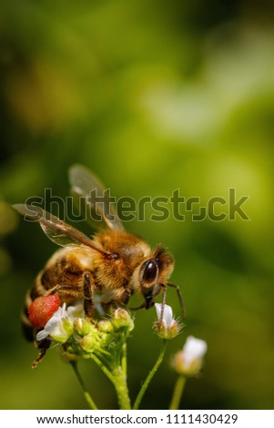 Bee on a white flower collecting pollen and gathering nectar to produce honey in the hive #1111430429