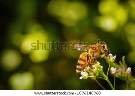 Bee on a white flower collecting pollen and gathering nectar to produce honey in the hive with copy space