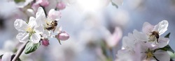 bee on a white flower on a tree.Bee picking pollen from apple flower.Bee on apple blossom.Honeybee collecting pollen at a pink flower blossom