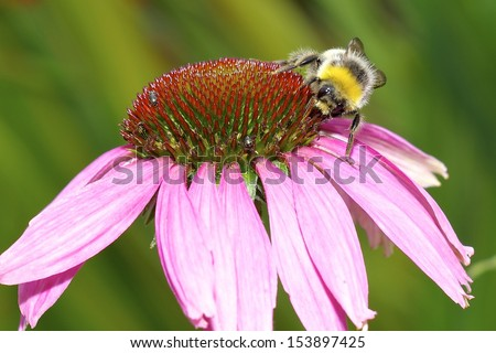 Bee on an echinacea flower (cone flower). Close up shot.
