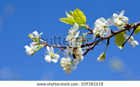 Bee on apple blossom; closeup of a beautiful spring apple tree against blue sky and bee pollinating apple bloom