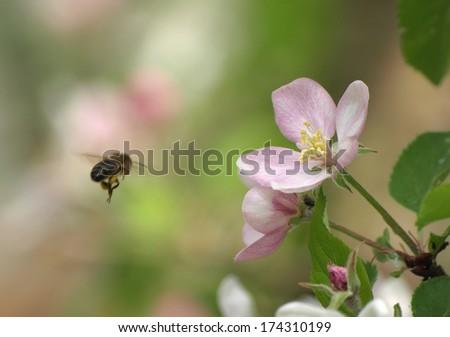 bee on apple flowers on the tree in garden