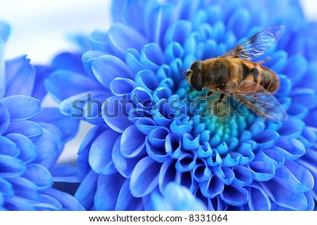 Bee on blue Dahlia, flower background