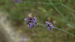 Bee on blue tiny flower