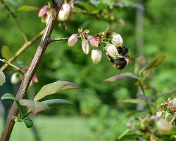 Bee on blueberries in full blooms.