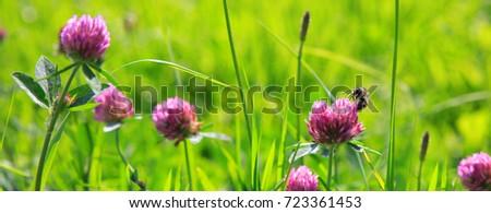 Bee on clover flowers field. #723361453
