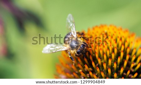 Bee on coneflower center closeup view in 16to9 ideal as wall picture or background