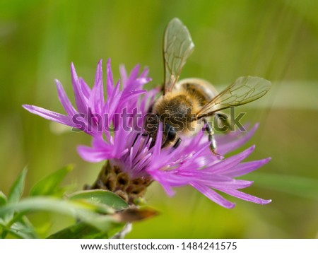 Bee on Cornflower, like other cornflowers, is an excellent nectarodic and pylodary plant and blooms long until autumn. #1484241575