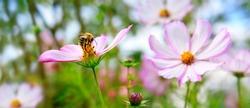 Bee on Cosmea flowers.