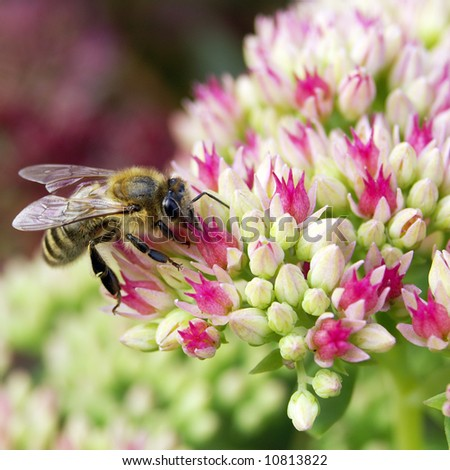 Bee on crassula