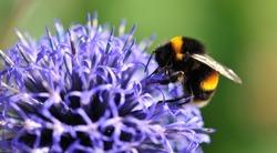 bee on echinops