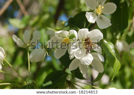 bee on flower of the apple trees