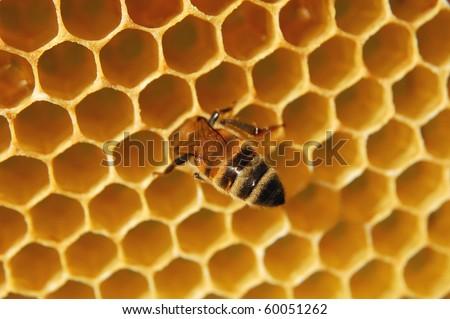 Bee on honeycomb eating honey
