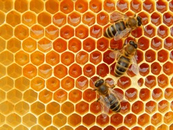 bee on honeycombs with honey slices nectar into cells.