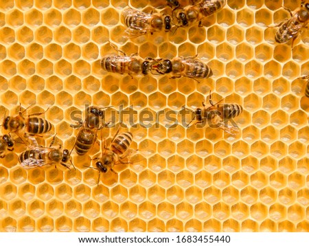 Photo of  bee on honeycombs with honey slices nectar into cells.