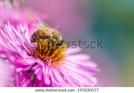 Bee on Michaelmas daisy