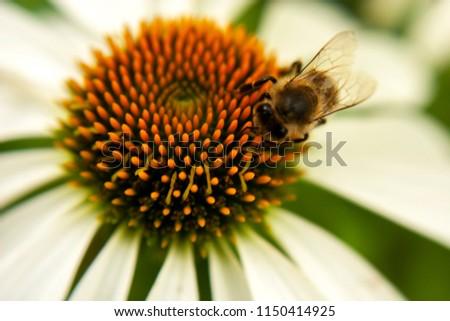 Bee on orange stamens stamens Echinocery white. Macro. #1150414925
