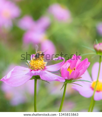 bee on pink cosmos flower, Cosmos flower (Cosmos Bipinnatus), Beautiful flowers cosmos