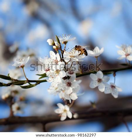 bee on plum flower with pollen in springtime