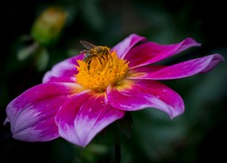 Bee on purple and yellow flower with dark grean background