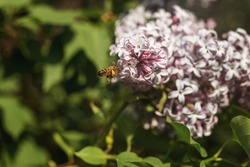 Bee on purple lilac flowers. Syringa flowers close-up. Honeybee pollinating purple flowers of lilac bush. Bee gathering nectar in lilac flowers.