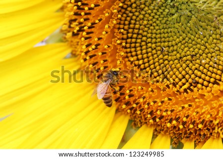 Bee on sunflower pollen