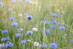 bee on the cornflower, cornflower field