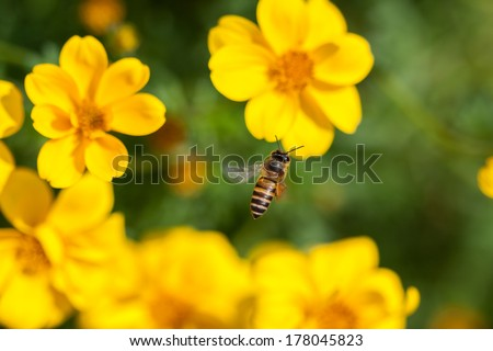 Bee on the flower, bee busy drinking nectar from the flower, sweet flower with bee. close up bee and flower.
