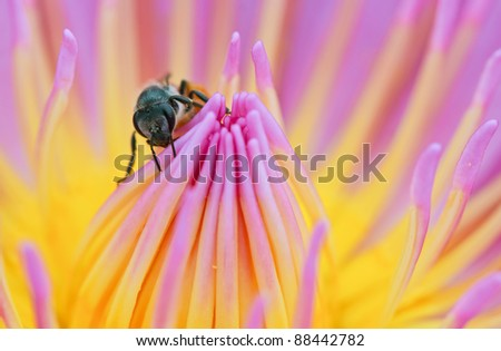 bee on the top of lotus as object
